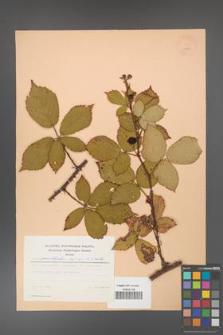 Rubus constrictus [KOR 22993]