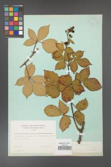Rubus constrictus [KOR 23701]