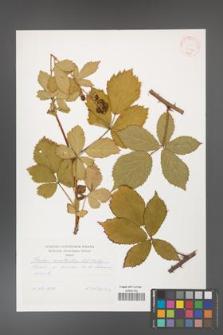 Rubus constrictus [KOR 30742]