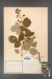 Rubus conspicus [KOR 18436]