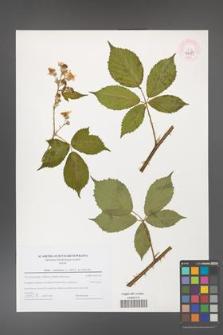 Rubus constrictus [KOR 44687]