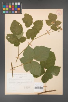 Rubus corylifolius [KOR 37973]