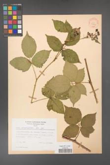 Rubus corylifolius [KOR 31532]