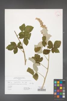 Rubus corylifolius [KOR 45031]