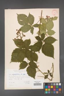 Rubus corylifolius [KOR 31445]