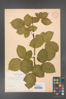Rubus corylifolius [KOR 8730]