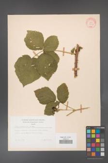 Rubus corylifolius [KOR 10652]