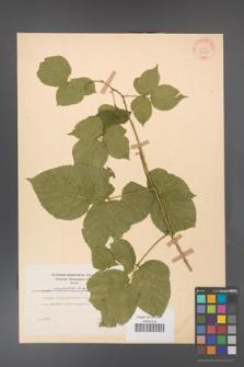 Rubus corylifolius [KOR 31522]