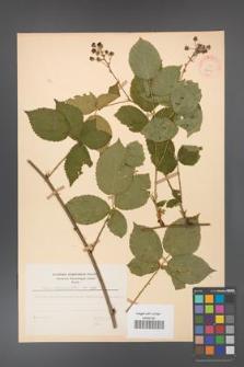 Rubus corylifolius [KOR 27849]