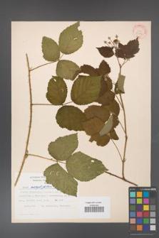 Rubus corylifolius [KOR 30996]