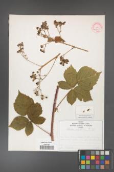 Rubus corylifolius [KOR 50753]