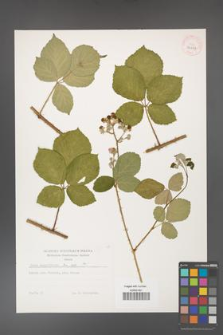 Rubus corylifolius [KOR 32247]