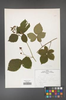 Rubus corylifolius [KOR 50754]