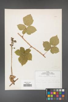 Rubus corylifolius [KOR 50757]