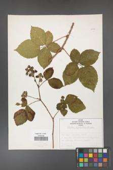 Rubus corylifolius [KOR 50750]