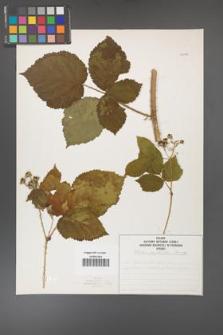 Rubus corylifolius [KOR 50738]