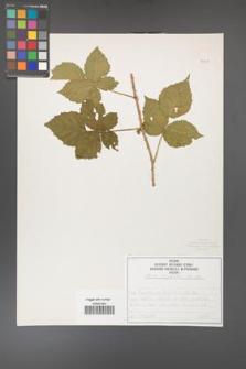 Rubus corylifolius [KOR 50749]