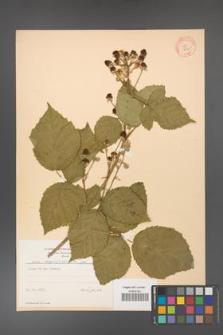 Rubus corylifolius [KOR 8725]