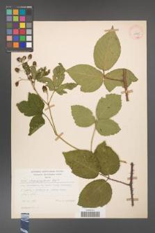 Rubus chaerophylloides [KOR 29785]