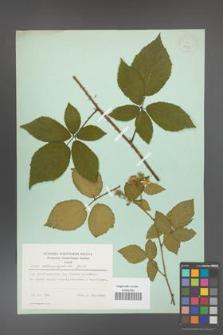 Rubus chaerophylloides [KOR 23715]