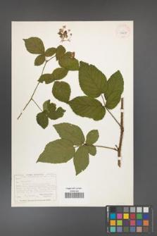 Rubus chaerophyllus [chaerophylloides] [KOR 40487]