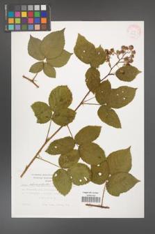 Rubus chaerophylloides [KOR 29453]