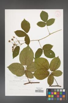 Rubus chaerophylloides [KOR 29456]