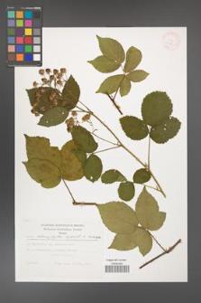 Rubus chaerophylloides [KOR 29457]
