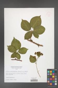 Rubus chaerophylloides [KOR 51624]