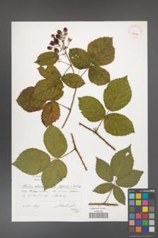 Rubus chaerophylloides [KOR 39055]