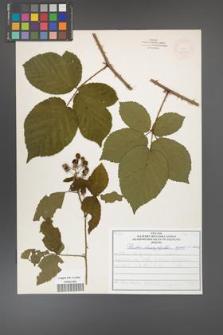Rubus chaerophylloides [KOR 52092]