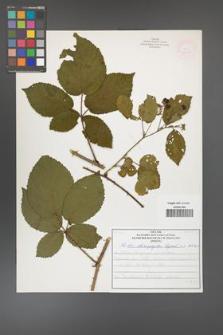 Rubus chaerophylloides [KOR 52091]