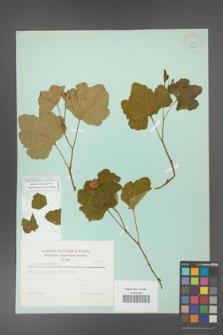 Rubus chamaemorus [KOR 23600]