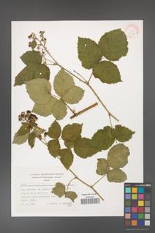 Rubus corylifolius [KOR 24903]