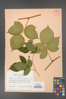Rubus corylifolius [KOR 31425]