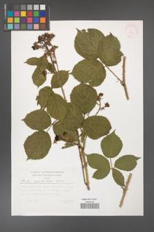 Rubus capitulatus [KOR 29505]