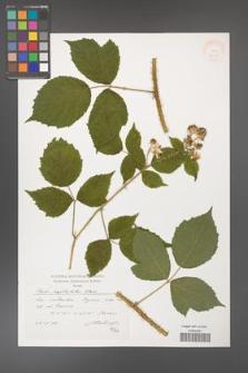 Rubus capitulatus [KOR 38313]