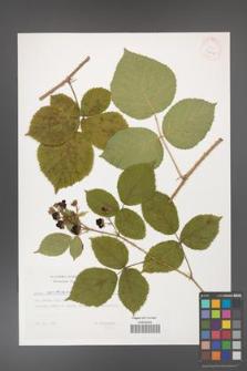 Rubus capitulatus [KOR 32419]