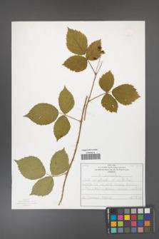 Rubus capitulatus [KOR 50127]