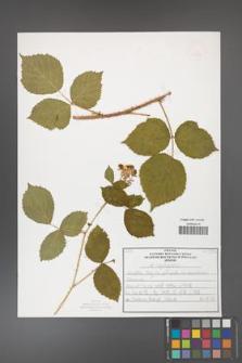 Rubus capitulatus [KOR 50137]