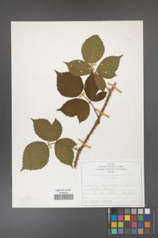 Rubus capitulatus [KOR 50134]