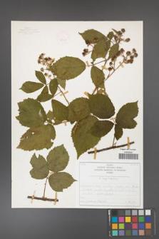 Rubus capitulatus [KOR 50132]