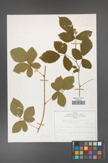 Rubus corylifolius [KOR 50212]