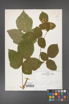 Rubus corylifolius [KOR 50727]