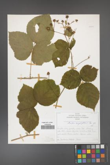 Rubus corylifolius [KOR 50709]