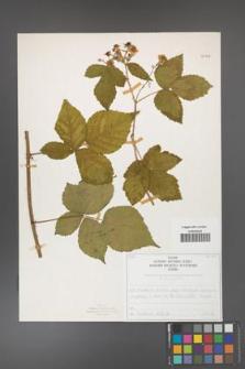 Rubus corylifolius [KOR 50708]