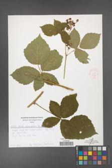 Rubus corylifolius [KOR 51896]