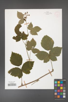 Rubus corylifolius [KOR 52184]