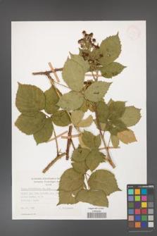 Rubus corylifolius [KOR 28015]