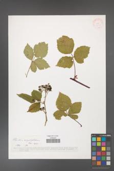 Rubus corylifolius [KOR 37558]